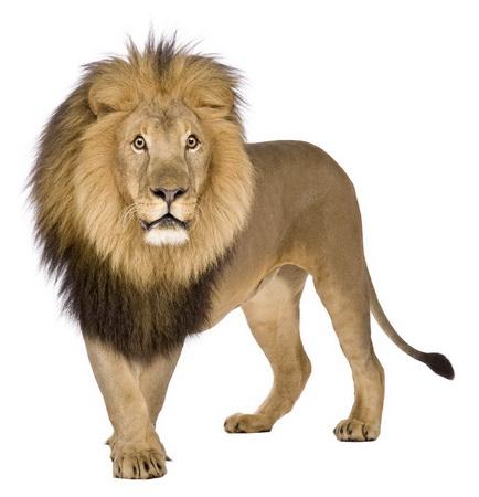 最大的猫科动物;右图非洲狮